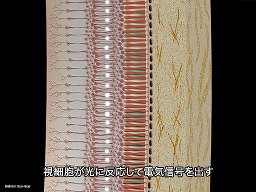 網膜電図(ERG)2