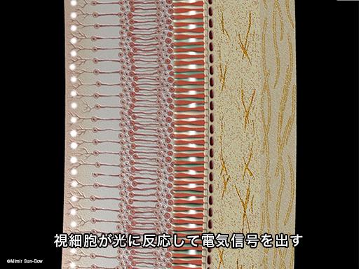 網膜電図(ERG)3